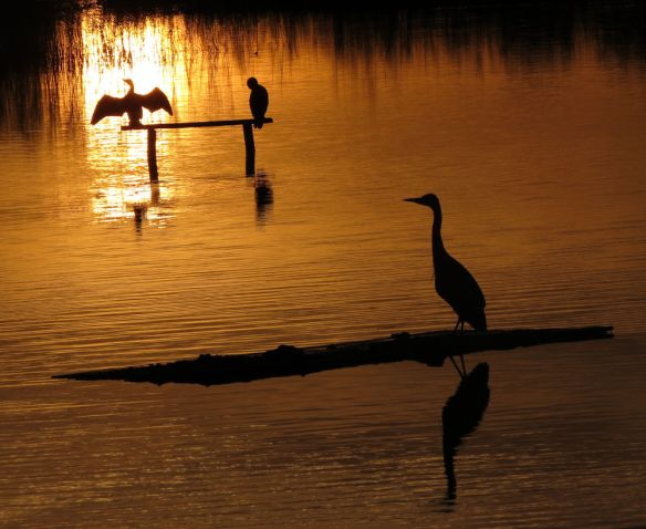 Cormorants and a heron at sunrise