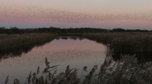 A river of starlings flows over