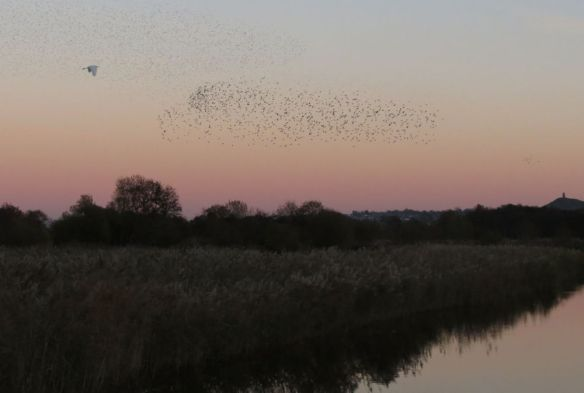 Starlings going to roost while a Great White Egret flies serenely across.