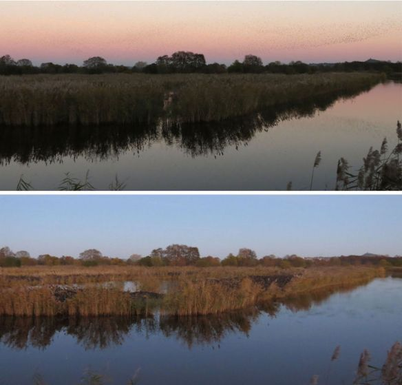 A section of reedbed, before and after the starlings arrived, taken from the same spot. (Confusingly, the lower photo, despite being lighter, was actually quite a bit later than the first photo).