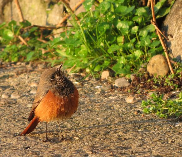Eastern black redstart in Mousehole, peering up to the top of the wall of the garden it also frequented.