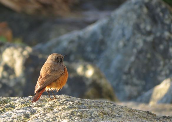Eastern black redstart, on the rocks at Mousehole.