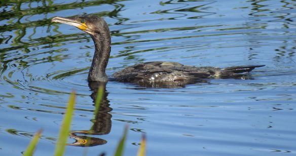 cormorant_5313lg