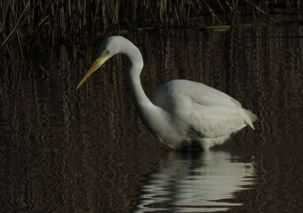 Great Egret On Prowl >> Great White Egret Notes From The River Bank
